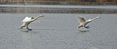 The whooper swan, Cygnus cygnus Stock Images