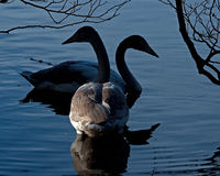 The whooper swan, Cygnus cygnus Stock Images