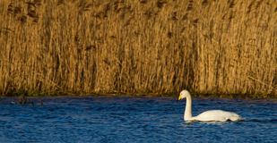 Whooper Swan (Cygnus cygnus) Stock Photography
