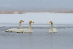 Whooper Swan (Cygnus cygnus) in winter Royalty Free Stock Image
