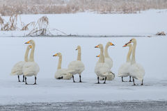 Whooper Swan (Cygnus cygnus) in winter Stock Photos