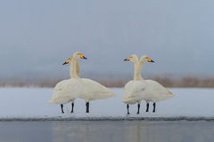 Whooper Swan (Cygnus cygnus) in winter Stock Photo