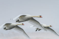 Whooper Swan (Cygnus cygnus) in winter Royalty Free Stock Photo