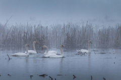 Whooper Swan (Cygnus cygnus) in winter Royalty Free Stock Photos