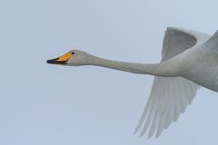 Whooper Swan (Cygnus cygnus) in winter Stock Photography