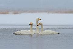Whooper Swan (Cygnus cygnus) in winter Stock Images