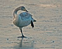 Whooper swan, Cygnus cygnus young bird cleaning itself. The Whooper swan, Cygnus cygnus young bird cleaning itself on a frozen lake in Sweden stock image
