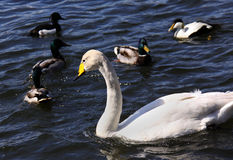 Whooper swan and ducks Royalty Free Stock Photos