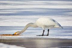 Whooper swan eating on ice Stock Photos