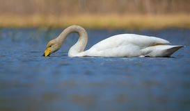 Whooper swan eating water organisms with curved neck and beak immersed in bright blue colored water of pond stock images