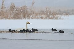 Whooper Swan and Eurasian coot  in winte Stock Images