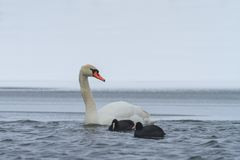 Whooper Swan and Eurasian coot  in winter Royalty Free Stock Image
