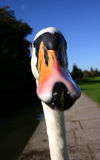 Whooper Swan Face On. Rather comical close up of a whooper swan face. Focus on eyes Royalty Free Stock Photography