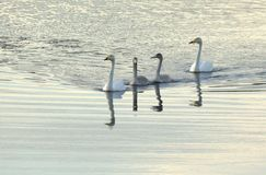 Whooper swan family swimming Royalty Free Stock Photo