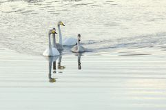 Whooper swan family swimming Royalty Free Stock Image