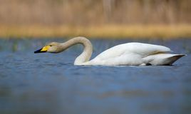Whooper swan filteri water in serch for food with droplets falling from beak in blue colored water of pond stock image
