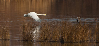 Whooper Swan in flight Royalty Free Stock Photography