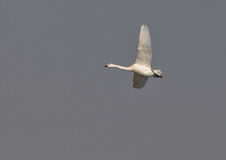 A Whooper Swan in flight Stock Images