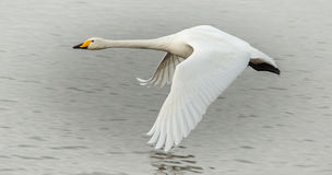 Whooper Swan in Flight Royalty Free Stock Photo