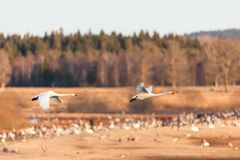 Whooper Swan flying Royalty Free Stock Images