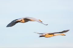 Whooper Swan flying Stock Photo