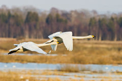 Whooper Swan flying Stock Images
