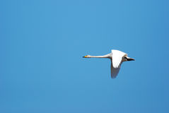 Whooper swan flying Royalty Free Stock Photography