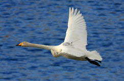 Whooper Swan with GPS tracking device stock image