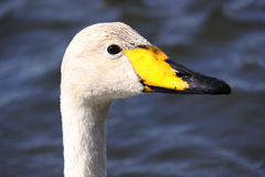 Whooper swan head close up Stock Images
