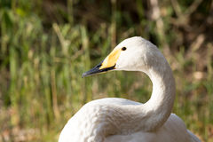 Whooper swan. Whooper swan head close up Royalty Free Stock Image