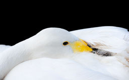 Whooper swan head closeup isolated on black Stock Image