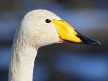 Free Whooper Swan Head Shot Stock Photos - 69096273