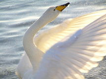 Whooper Swan , Iceland Royalty Free Stock Photo