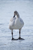 Whooper swan. Is the only swan on Iceland Royalty Free Stock Image
