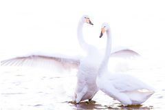 Whooper swan. Is the only swan on Iceland Royalty Free Stock Images