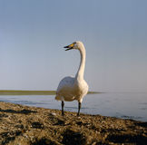 Whooper swan at a lake Stock Photos
