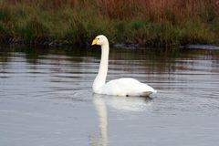 A whooper swan in a lake. royalty free stock photos