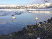 Whooper Swan Lake Landscape stock image