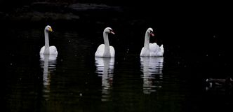 Whooper swan and.mute swan Stock Image