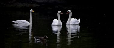 Whooper swan and.mute swan Stock Images