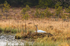 Whooper swan nesting Stock Photos