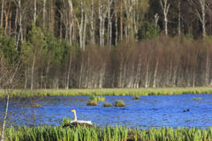 Whooper swan nesting at spring Stock Image