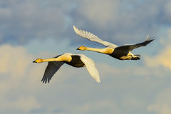 Whooper swan Stock Images