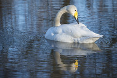 Whooper Swan. Preening with reflection in water of lake Stock Image