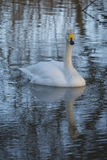 Whooper Swan. Preening with reflection in water of lake Royalty Free Stock Photo
