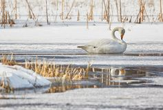 Whooper swan resting on ice Royalty Free Stock Photo