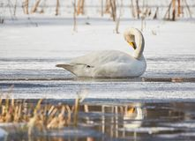 Whooper swan resting on ice Stock Image