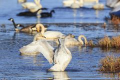 Whooper swan spreading wings Stock Image