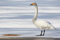 Whooper swan standing on ice Royalty Free Stock Images