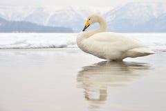 Whooper Swan Stock Photos